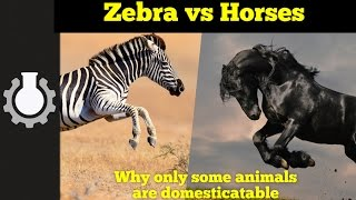 Zebra vs Horses (Americapox Part 2)