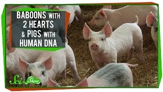 Baboons With 2 Hearts & Pigs With Human DNA