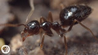 Winter is Coming For These Argentine Ant Invaders | Deep Look
