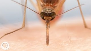 How Mosquitoes Use Six Needles to Suck Your Blood  |  Deep Look