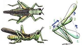 Kinematics of Grasshopper Hops - Smarter Every Day 102