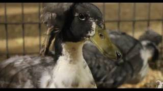 Duck with 3 Feet! - Smarter Every Day 25