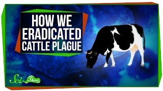 How We Eradicated Cattle Plague