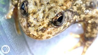 "Can a New ""Vaccine"" Stem the Frog Apocalypse? 