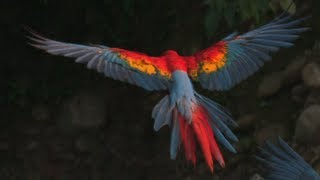 MACAWS in SlowMotion! Rainforest Research! Smarter Every Day 60
