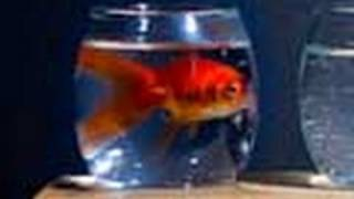 Goldfish Catches Bullet