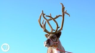 How Do Reindeer and Elk Get Their Astounding Antlers? | Deep Look