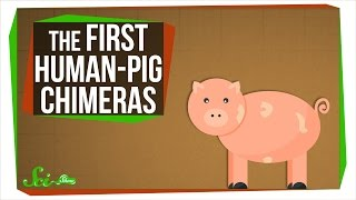 The First Human-Pig Chimeras