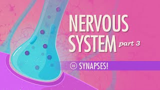 The Nervous System, Part 3 - Synapses!: Crash Course A&P #10
