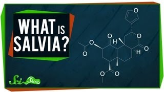 What is Salvia?