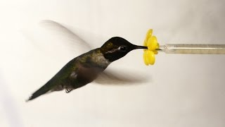 What Happens When You Put a Hummingbird in a Wind Tunnel? | Deep Look