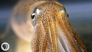 You're Not Hallucinating. That's Just Squid Skin. | Deep Look