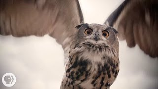 See What Makes Owls So Quiet and So Deadly | Deep Look