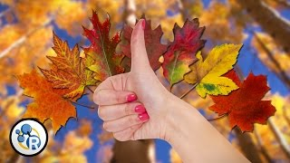 Why Do Leaves Change Color? - Reactions