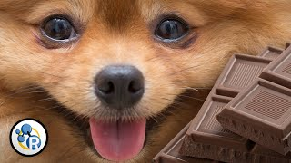 Why is Chocolate Bad for Dogs?