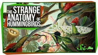 The Strange Anatomy of Hummingbirds