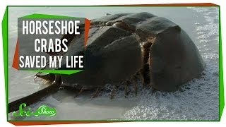 Horseshoe Crabs Saved My Life